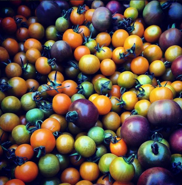 ICF Tomatoes Aug 2016